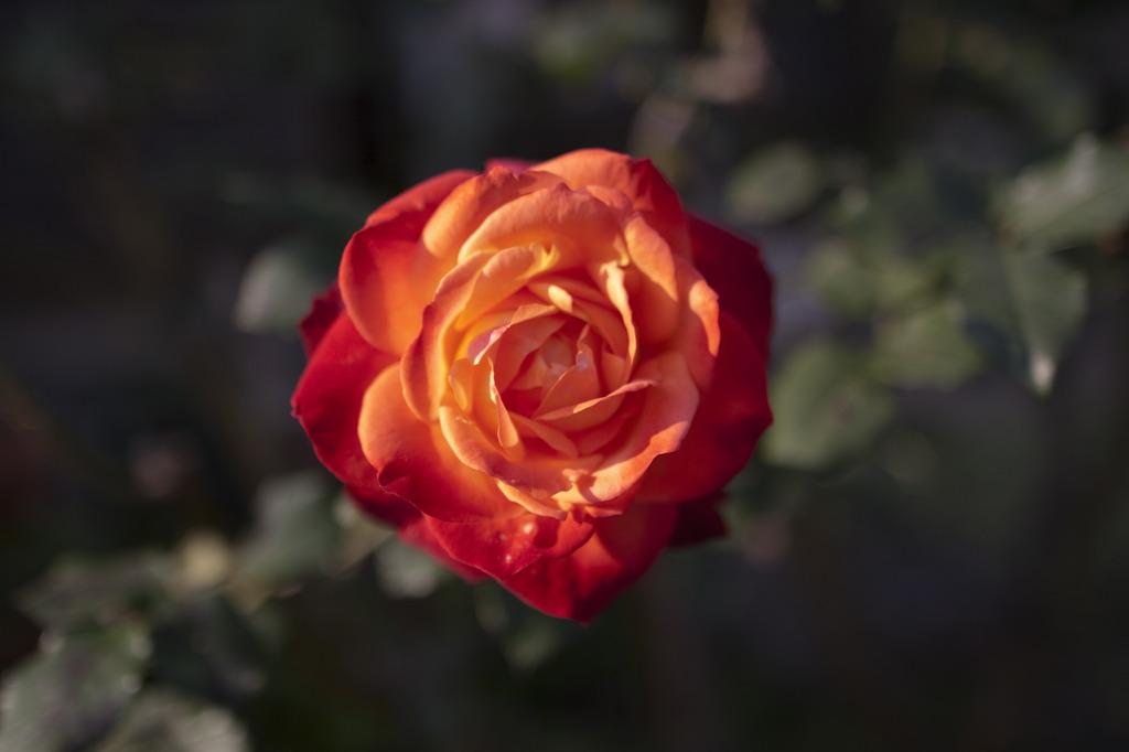 朝露で潤う老いたバラ