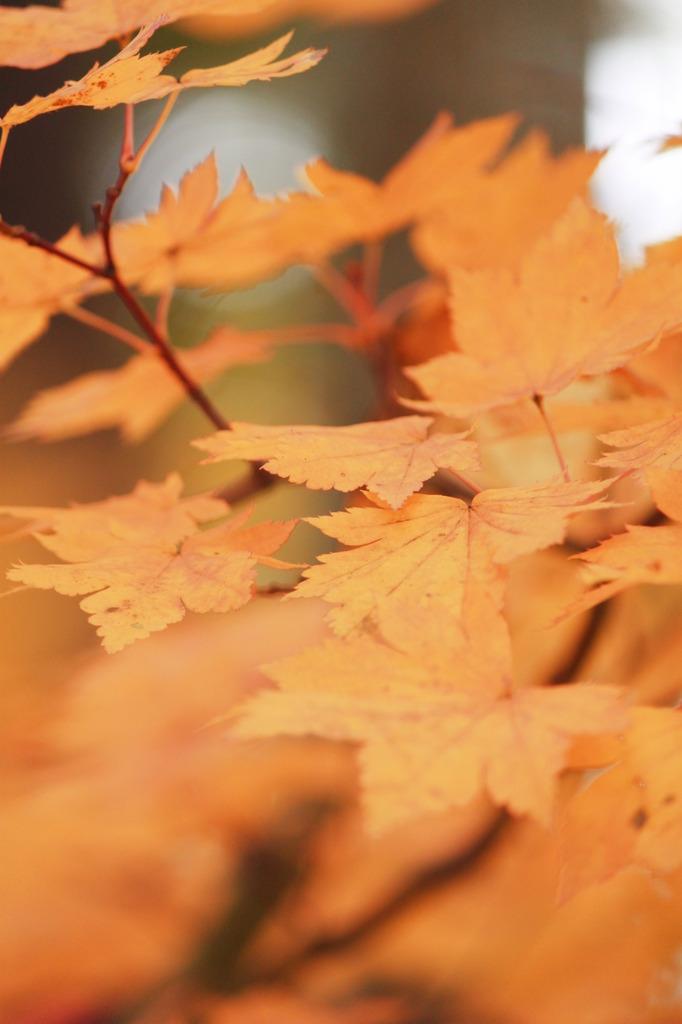 オレンジ色な葉っぱ達