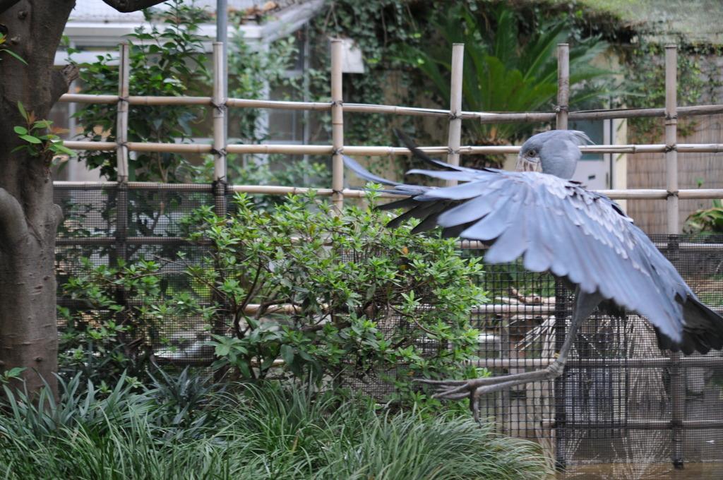 ちょっと飛んだハシビロコウ