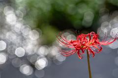 川辺に咲く彼岸花