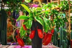 THE NEPENTHES