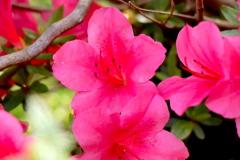 家に咲いているツツジ