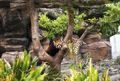 神戸市王子動物園のレッサーパンダ ガイア(オス)