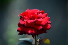 いつかに撮影した谷津バラ園のバラ
