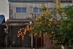 廃屋と柿の木