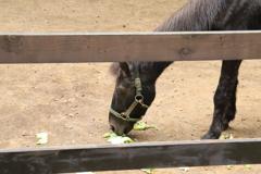 キャベツを食む馬