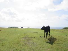 最西端の牛