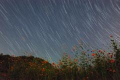 キバナコスモスと星