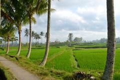Bali Ubud_01 バリの畦道とライスフィールド