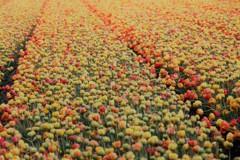 満開のチューリップ畑