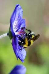 蜜集め、花粉集めに忙しく