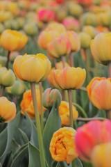 黄色く咲き誇る春