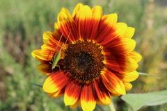 向日葵と飛蝗