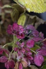 師走の紫陽花
