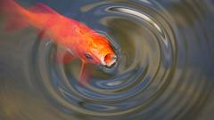 パクパクする金魚