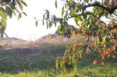 柿畑から望む秋桜