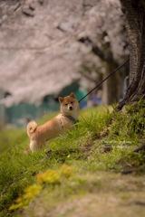 桜と愛犬アズキ❁︎