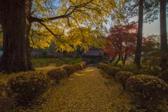 銀杏舞う高徳寺