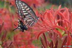 彼岸の花蝶
