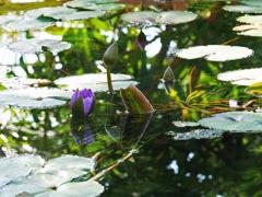 水辺の花 睡蓮