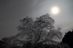 月暈と又兵衛桜