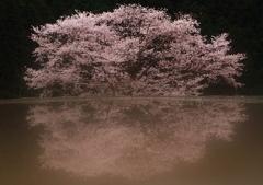 幻想-諸木野の桜