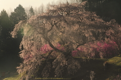 古武士の桜-輝き