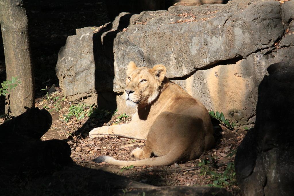 ズーラシアのライオン