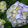 松尾大社紫陽花(2)