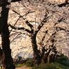 天神川の夕桜