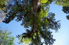 縄文杉を見上げる