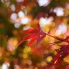 地元の紅葉も赤く!