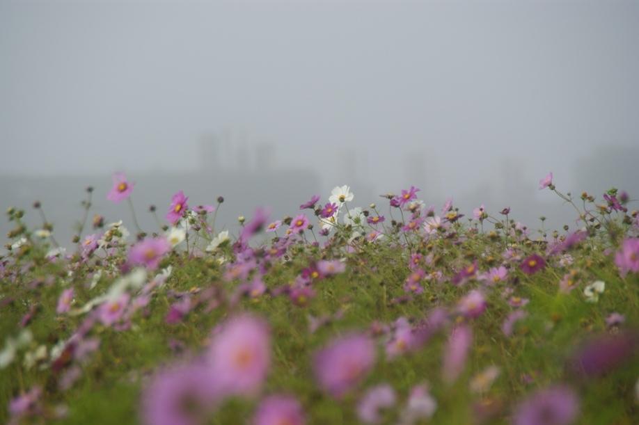 朝靄のコスモス畑
