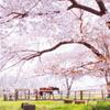 牧場の大きな桜