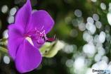 Nobotan purple