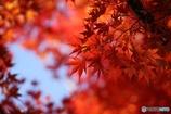 燃える紅葉
