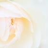 creamy rose
