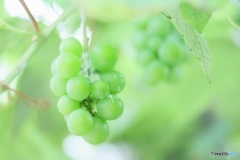 ちいさな葡萄