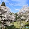 自然公園の桜