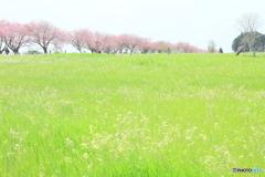 草原と八重桜