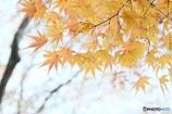 黄葉の枝Ⅱ