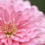 CANON Canon EOS 7Dで撮影した植物(花水木)の写真(画像)