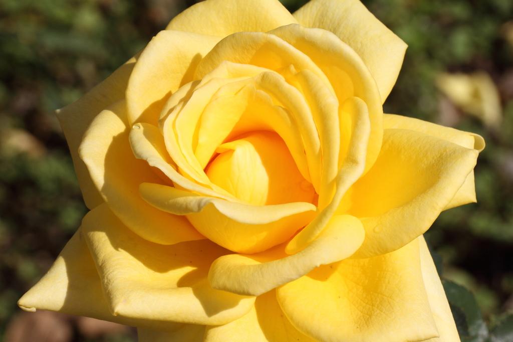 黄色いバラ2