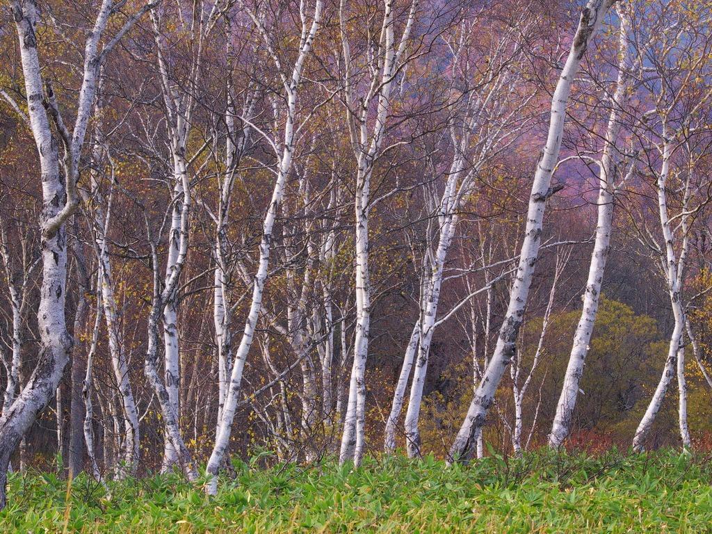 晩秋の尾瀬ヶ原ー白樺林