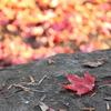 一片の紅葉