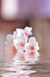 桜water