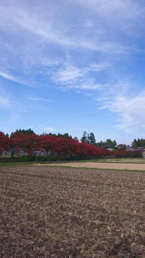 葉桜の紅葉