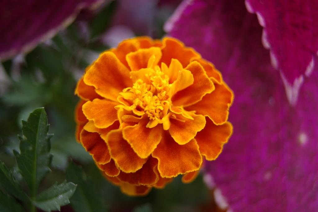 花~マリーゴールド 孔雀草
