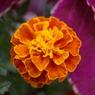 PENTAX PENTAX K10Dで撮影した植物(花~マリーゴールド 孔雀草)の写真(画像)