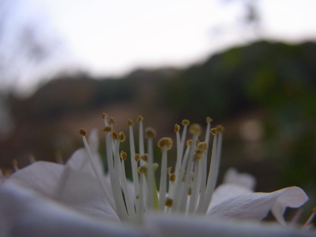 ヒマラヤ桜 2